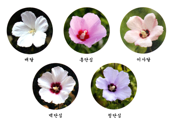 the rose of sharon 무궁화 national flower of korea elwood 5566