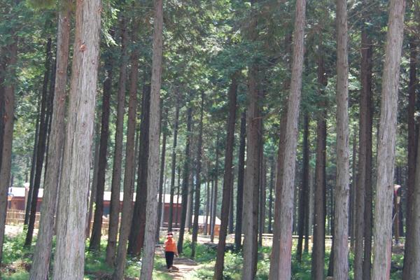 Hinoki Cypress Elwood 5566